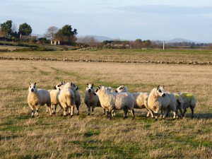 Shandwick sheep