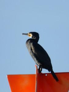 Sgarbh / Cormorant