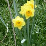 Daffodils, Lusan a' chrom-chinn