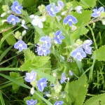 Germander-speedwell-Nuallach