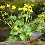 Marsh-marigold-Beàrnan-Bealltainn