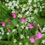 Red-Campion-cow-parsley-Lus-nan-ròis-costag-fhiadhain