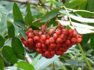 caoran - rowan berries