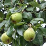 craobh-pheur - pear tree