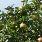craobh-ubhail - apple tree