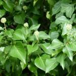 dearcan-eidhinn - ivy-berries
