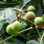 geanm-chnòthan-horse-chestnuts,conkers